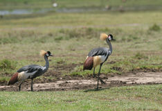 Pássaros na grama. Foto de Stock Royalty Free
