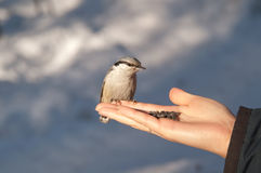 Pássaros na mão Fotografia de Stock