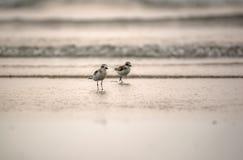 Pássaros na praia Foto de Stock Royalty Free