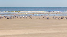 Pássaros na praia Fotos de Stock Royalty Free
