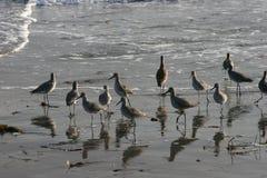Pássaros na praia Imagens de Stock Royalty Free