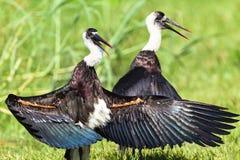 Pássaros Necked da cegonha de Wooley Imagem de Stock