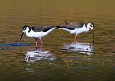 Pássaros Necked pretos do pernas de pau Foto de Stock Royalty Free