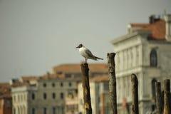 Pássaros no canal em Veneza Imagem de Stock Royalty Free