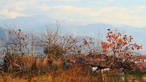 Pássaros no caqui da árvore video estoque