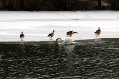 Pássaros no gelo Fotos de Stock Royalty Free