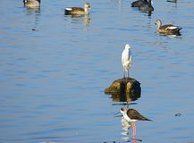 Pássaros no lago Randarda, Rajkot, Gujarat Fotos de Stock Royalty Free