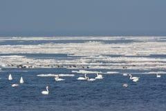 Pássaros no mar gelado Fotos de Stock Royalty Free