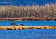 Pássaros no parque nacional dos lagos Waterton Fotos de Stock