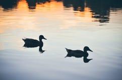Pássaros no rio Fotografia de Stock Royalty Free