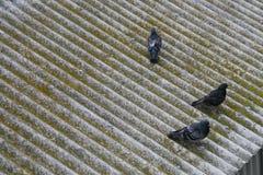 Pássaros no telhado Imagens de Stock