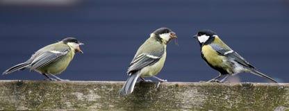 Pássaros novos Imagem de Stock