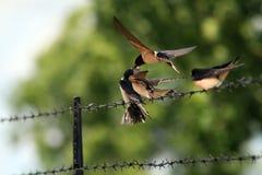 Pássaros novos Fotografia de Stock