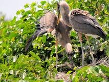 Pássaros novos da garça-real de grande azul no ninho Fotografia de Stock
