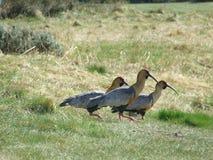 Pássaros patagonian Foto de Stock