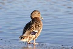 Pássaros, pato Imagem de Stock
