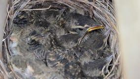 Pássaros pequenos do pardal do bebê no detalhe do macro do ninho video estoque
