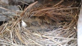 Pássaros pequenos do pardal do bebê no detalhe do macro do ninho vídeos de arquivo