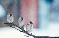 Pássaros pequenos engraçados que sentam-se em um ramo na neve no Natal Imagem de Stock Royalty Free