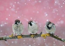 Pássaros pequenos engraçados que sentam-se no ramo na neve de queda no Imagem de Stock Royalty Free