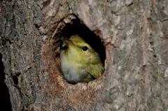 Pássaros pequenos no ninho Imagens de Stock