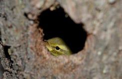 Pássaros pequenos no ninho Imagens de Stock Royalty Free