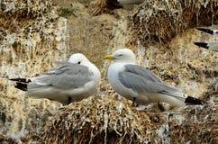 pássaros Preto-equipados com pernas da gaivota no cliffside do assentamento no verão Imagem de Stock Royalty Free