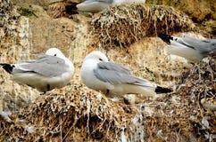 pássaros Preto-equipados com pernas da gaivota no cliffside do assentamento no verão Fotos de Stock