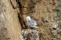 pássaros Preto-equipados com pernas da gaivota no cliffside do assentamento no verão Foto de Stock