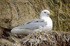 pássaros Preto-equipados com pernas da gaivota no cliffside do assentamento no verão Fotografia de Stock