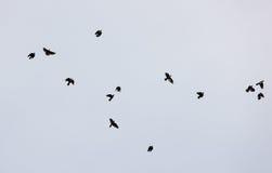 Pássaros pretos Fotos de Stock Royalty Free