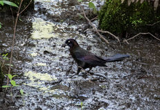 Pássaros pretos em O Lago das Cisnes e em Iris Gardens Imagens de Stock