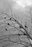 Pássaros pretos nos branchs da árvore Fotografia de Stock Royalty Free