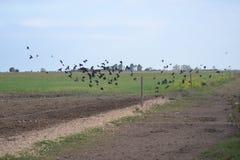 Pássaros pretos que voam sobre o país Fotos de Stock Royalty Free