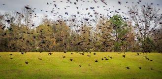 Pássaros pretos voados vermelho Fotos de Stock Royalty Free