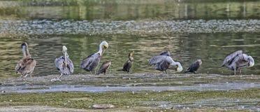 Pássaros que banham-se Foto de Stock Royalty Free