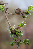 Pássaros que cantam Imagens de Stock