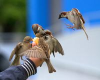 Pássaros que comem da mão Foto de Stock