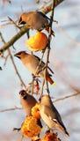 Pássaros que comem maçãs imagem de stock royalty free