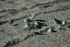 Pássaros que descansam na areia Fotos de Stock