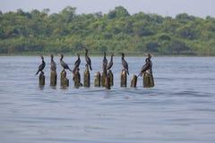 Pássaros que empoleiram-se em colunas concretas, o Lago de Maracaibo, Venezuela Imagens de Stock