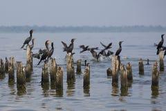 Pássaros que empoleiram-se em colunas concretas, o Lago de Maracaibo, Venezuela Fotografia de Stock Royalty Free
