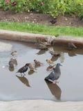 Pássaros que nadam em uma associação Imagens de Stock Royalty Free