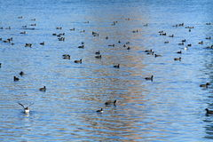 Pássaros que nadam no lago Imagens de Stock