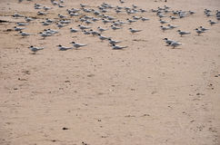 Pássaros que sentam-se na praia Fotos de Stock Royalty Free