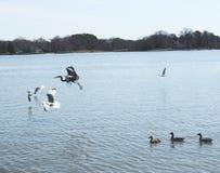Pássaros que tomam o voo Fotos de Stock Royalty Free