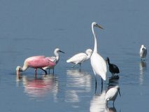 Pássaros que vadeiam na água Foto de Stock Royalty Free