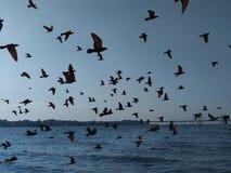 Pássaros que voam na formação sobre o mar fotografia de stock royalty free