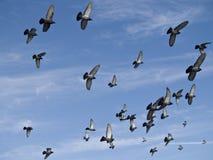 Pássaros que voam no céu azul - paz ao mundo Fotografia de Stock Royalty Free
