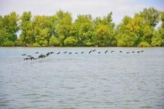 Pássaros que voam sobre a água no delta de Danúbio Fotos de Stock Royalty Free